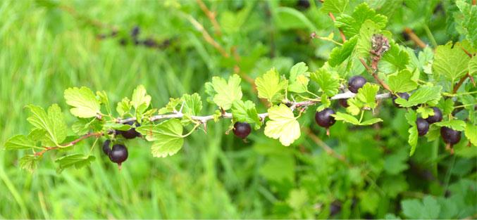 wocesterberries