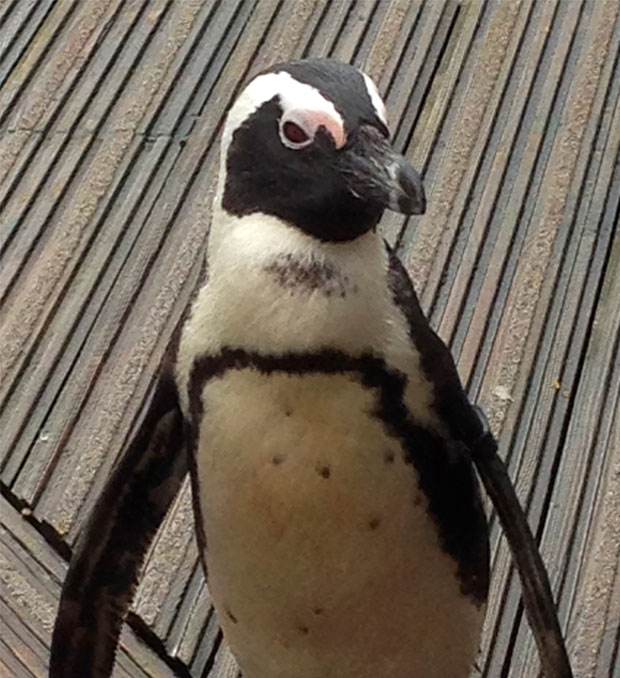Living-Coast-Torquay-Penguin
